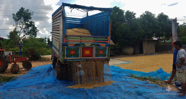 Jasmine Rice truck unloading harvest