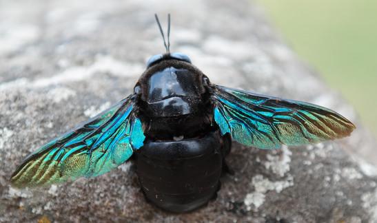 Thai Carpenter Bee (a current resident of Phanom Rung)