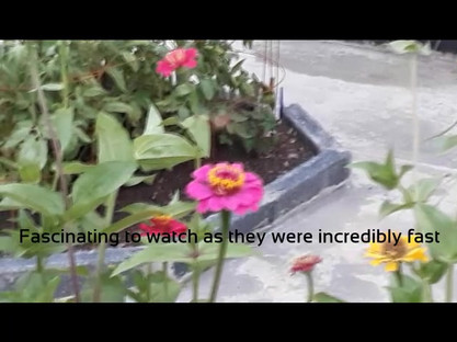 Hummingbird Hawk Moth.mp4