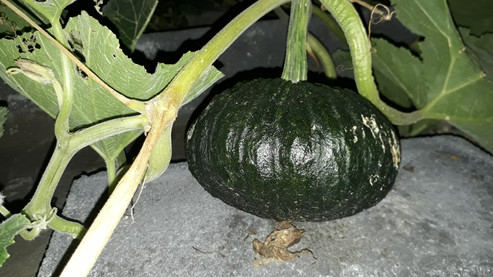 Thai Pumpkin 20181002