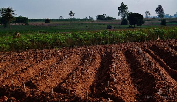 Freshly Planted Cassava Crop (Buriram Province)