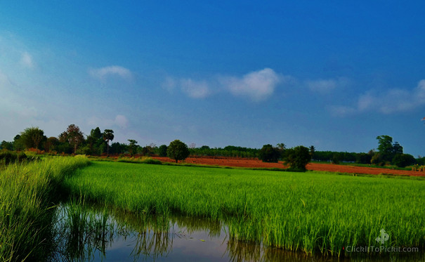 Isaan Rice Farm (Buriram Province)
