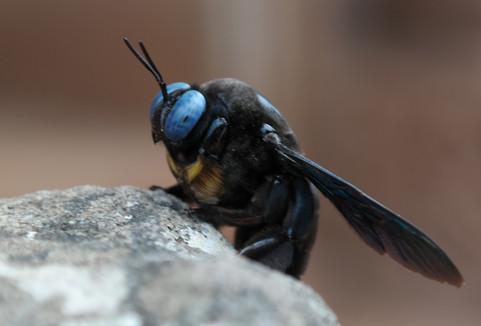 Thailand Carpenter Bee