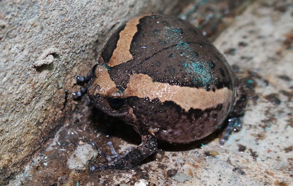 Asiatic Painted Frog (Kaloula pulchra)