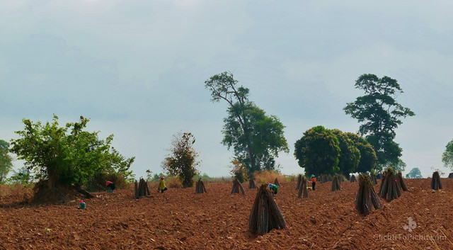 Cassava Stalks ready for planting (Buriram Province)