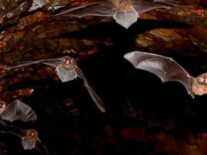 Investigadores de México y Centroamérica realizan acciones para no estigmatizar al murciélago
