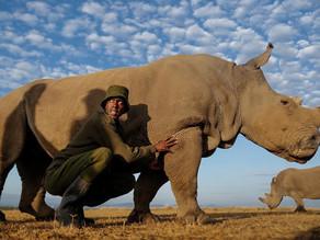 Recolectan más óvulos de rinoceronte blanco norteño para salvarlo de su extinción