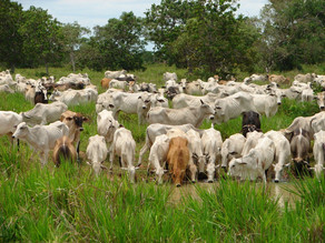 Altas temperaturas pegan fuerte a la producción de ganado en Chiapas