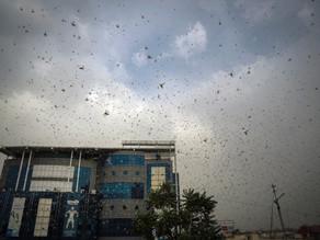 Provoca cambio climático nuevo ataque de langostas en India