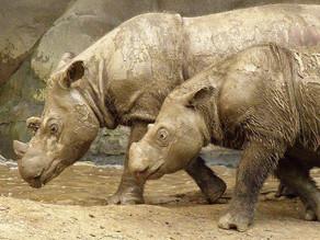 Científicos clonaran rinoceronte de Sumatra extinto en Malasia