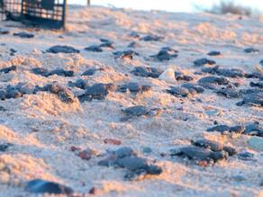 La pandemia favorece histórica eclosión de tortugas en Sonora