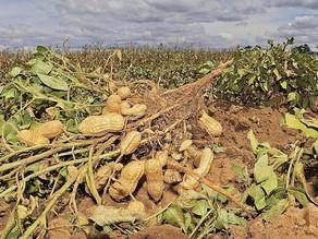 Siembra de cacahuate podría perderse por altas temperaturas y falta de lluvias
