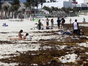 El sargazo se cuadriplica y amenaza con inundar al Caribe mexicano