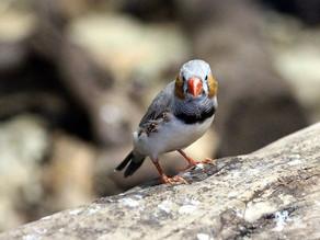 Recrean el canto de un ave a partir de su actividad cerebral
