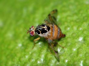 Controlan entrada de la mosca del Mediterráneo a Chiapas