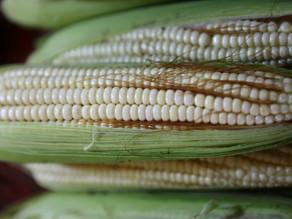 Pronostican producción favorable de granos básicos en 2020