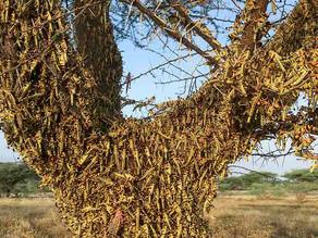 Así es como se forman las monstruosas plagas de langosta
