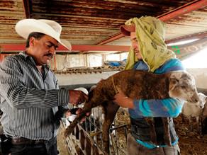 México señala un 55 % de territorio como libre de rabia en especies ganaderas