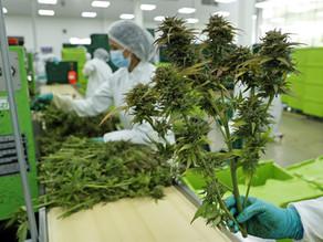 Colombia autoriza el uso industrial del cannabis y su exportación con fines medicinales