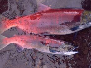 La crisis climática reduce el tamaño del salmón de Alaska, según un estudio