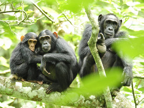 Los chimpancés mantienen pocos pero buenos amigos cuando envejecen, como los humanos