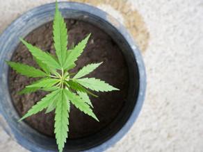 Legalización de mariguana no traerá beneficios