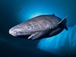 Eltiburónmás viejo,lleva casi 4 siglos nadando