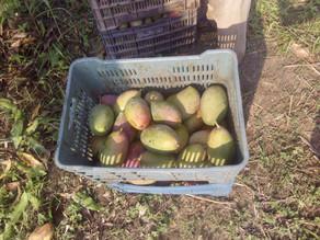 Mango, papaya y plátano, fue producción redituable en el 2020