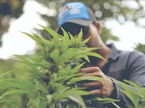 Legalización de la marihuana puede traer abusos en venta y consumo