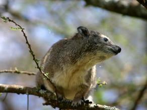 Descubren una nueva especie de mamífero en África gracias a su ladrido chillón
