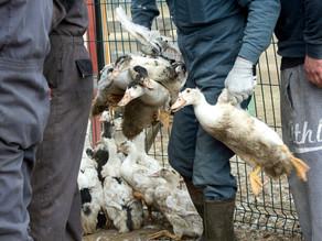 Se doblan los focos de gripe aviar en Francia cerca de la frontera española
