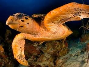 Nacen tortugas rojas en el Caribe mexicano; estudian relación con el sargazo
