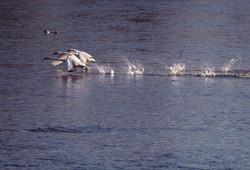 Swans Pair Running