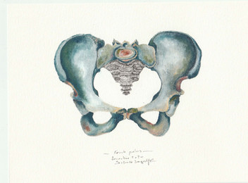 femal pelvis