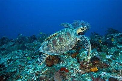 gili turtle.jpg