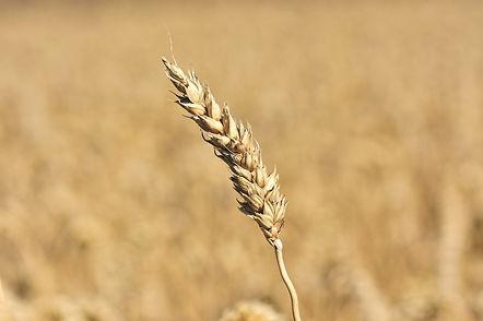 wheat-5533960_1920.jpg