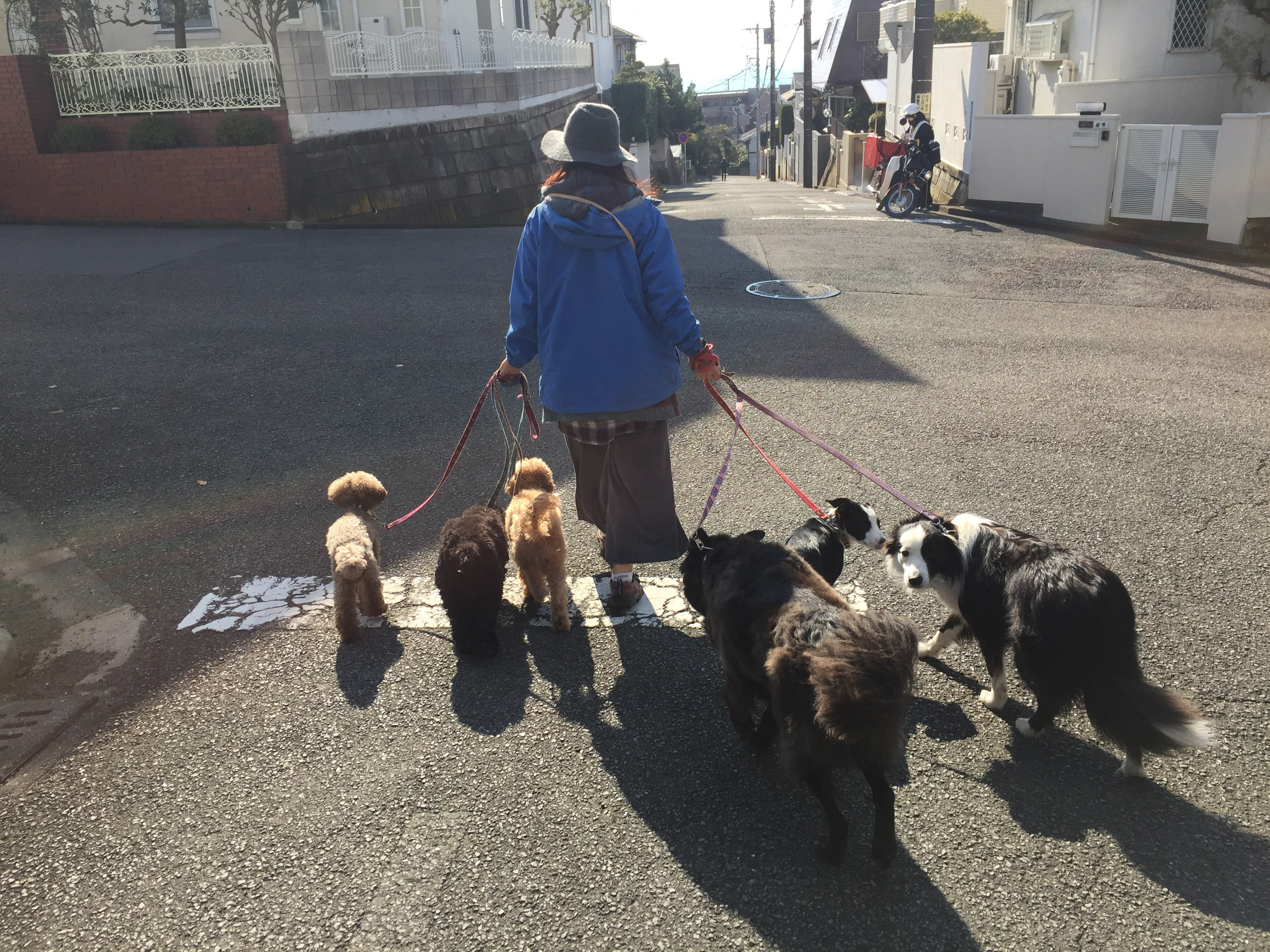 お預かり犬とみんなで散歩