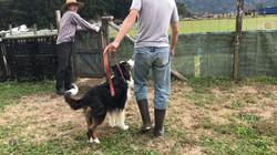 牧羊犬訓練のラルちゃん