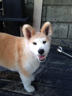 秋田犬ミックス くまちゃん