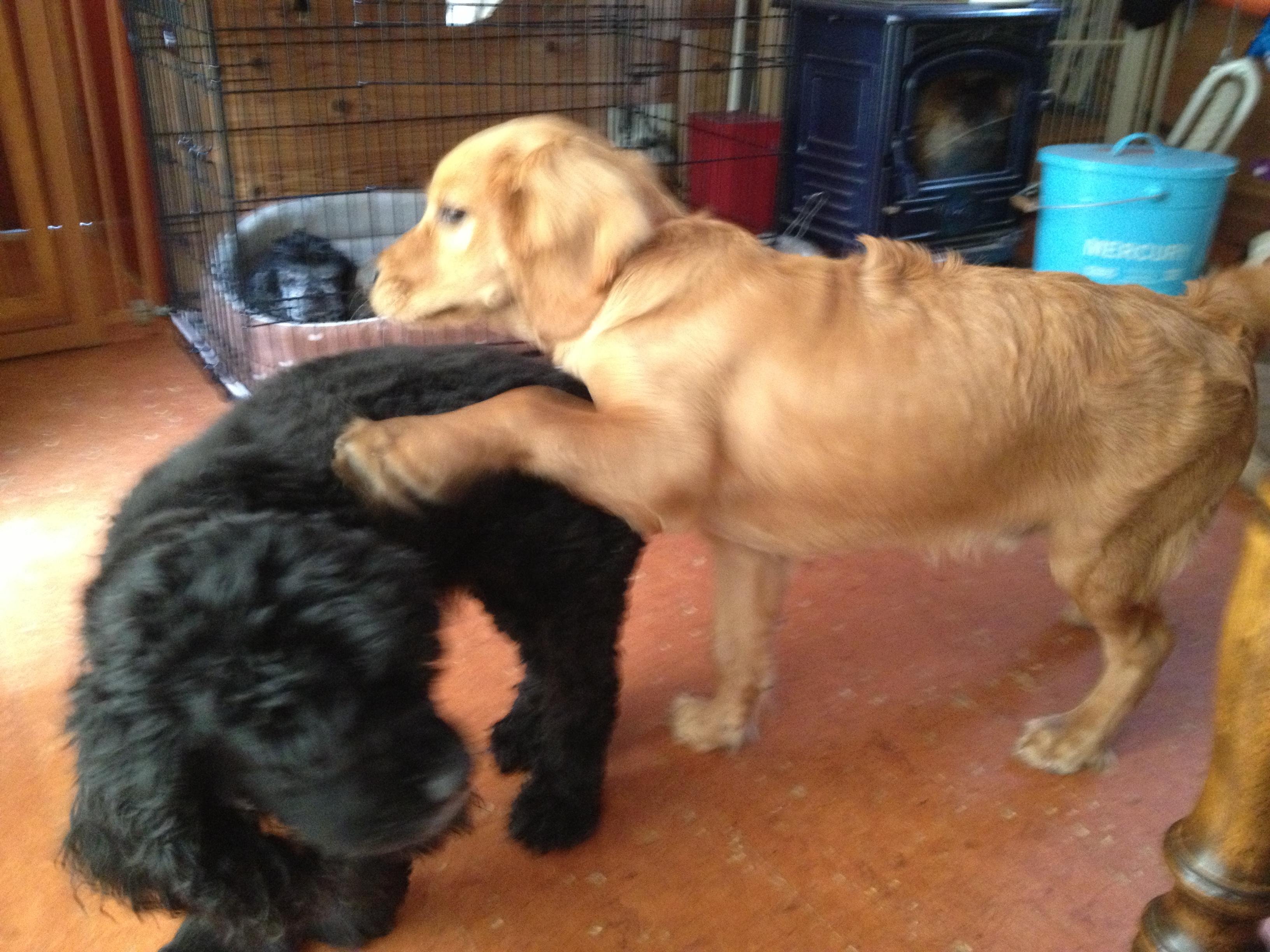 先住犬のちゅっぴーと遊びマロンちゃん