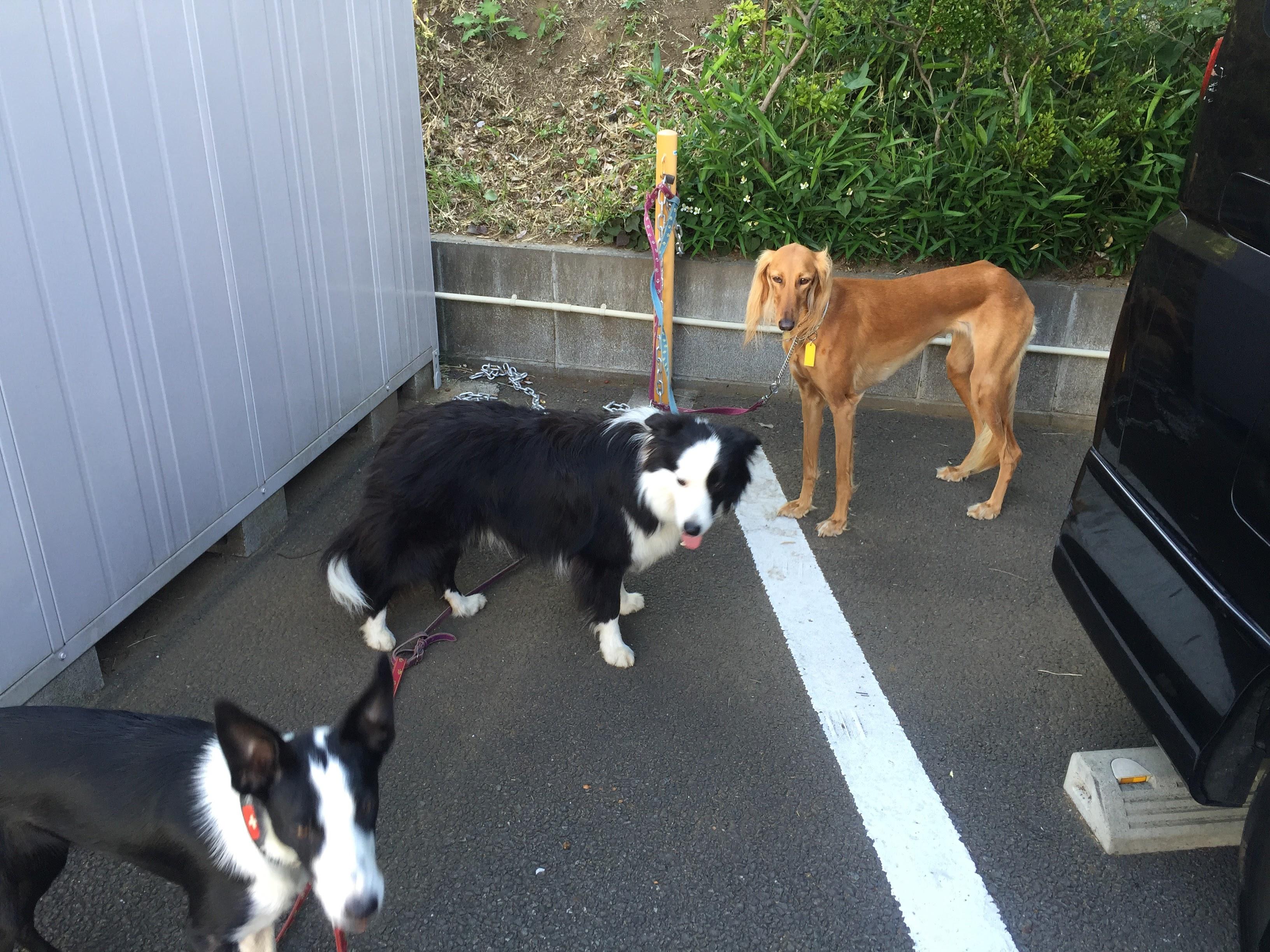 お預かり犬と散歩