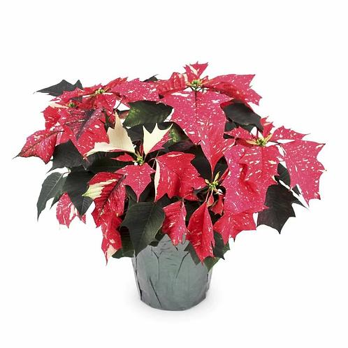 "Jingle Bell Poinsettias - 4"""