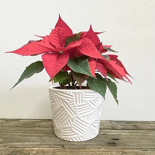 """Poinsettia in Ceramic Pot - 4"""""""