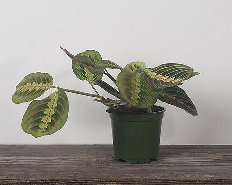 """Prayer Plant (Maranta leuconeura) - 4"""""""