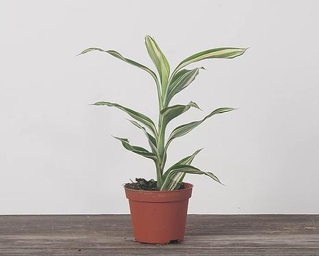 """Ribbon Plant (Dracaena sanderiana) - 4"""""""