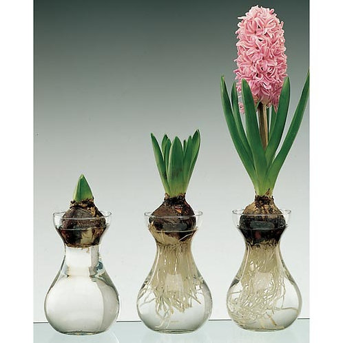 Hyacinth in Glass Kit