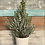 Thumbnail: Flocked Dwarf Alberta Spruce in Decorative Pot - 6""