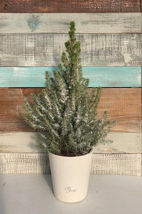 "Flocked Dwarf Alberta Spruce in Decorative Pot - 6"""