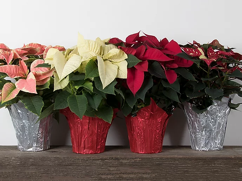Assorted Poinsettias - 6""