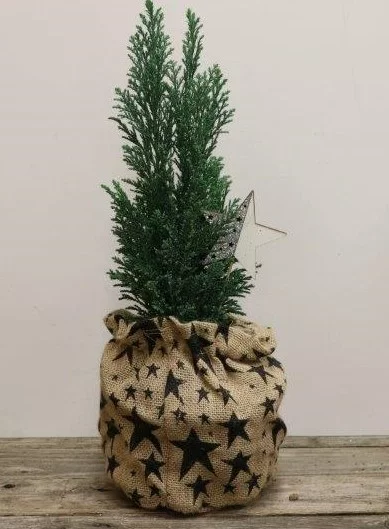 Cypress Tree in Burlap - 6""